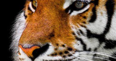 Différence entre le tigre et la panthère