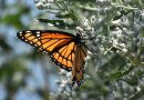 Différence entre vice-roi et monarque (papillon)